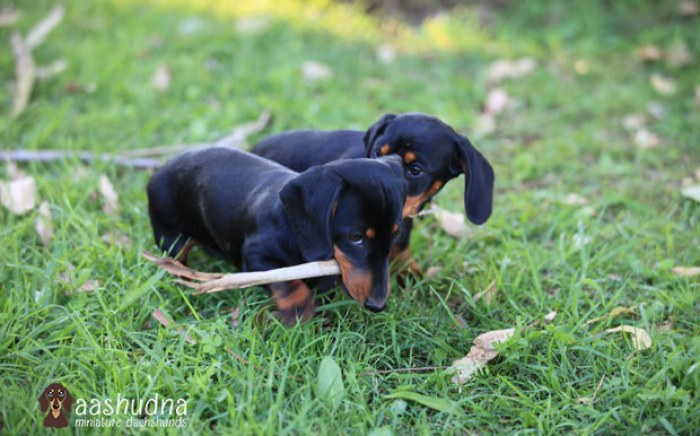 2 dachshunds