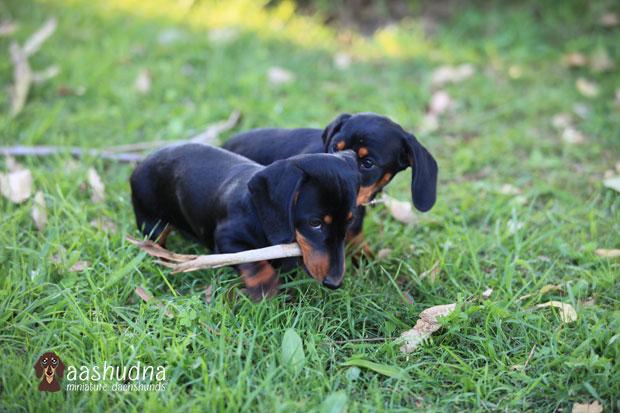 2 dachshunds