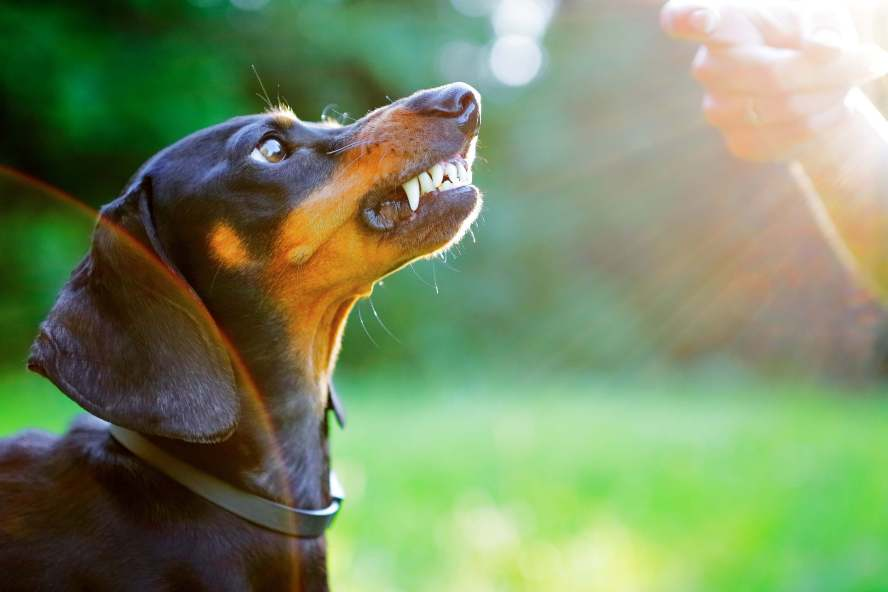 aggressive-dachshund
