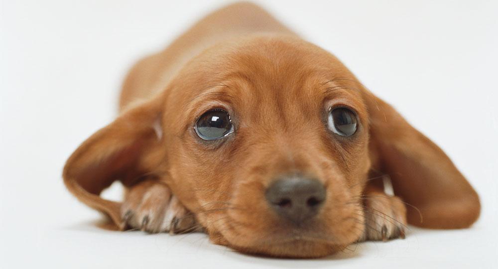 puppy-getty