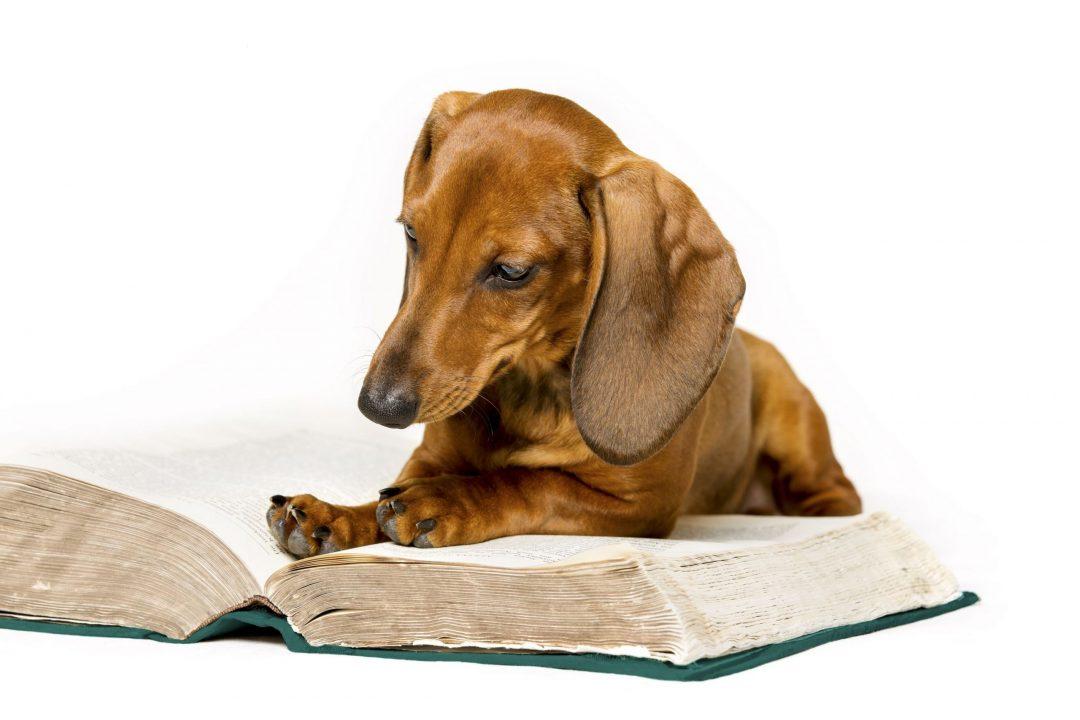 Dog Read Book, Animal School Education Training, Smart Dachshund